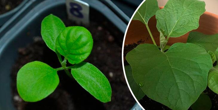 Как сеять баклажаны на рассаду в домашних условиях