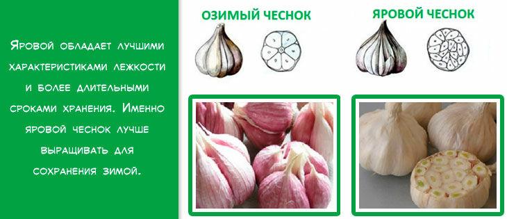 чеснок озимый и яровой - посадка весной