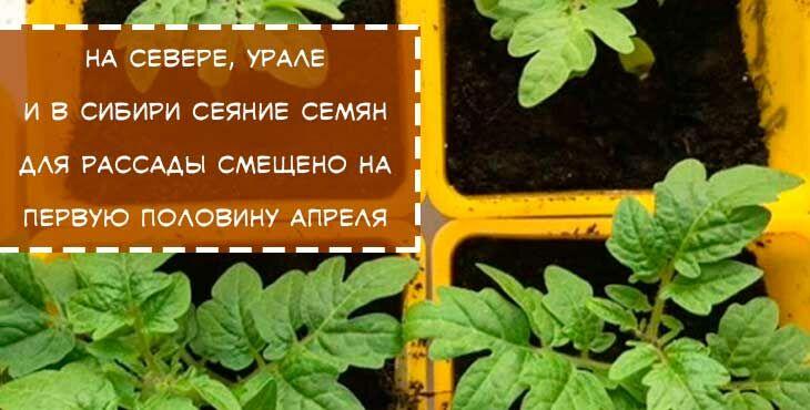 когда сеять томаты в сибири