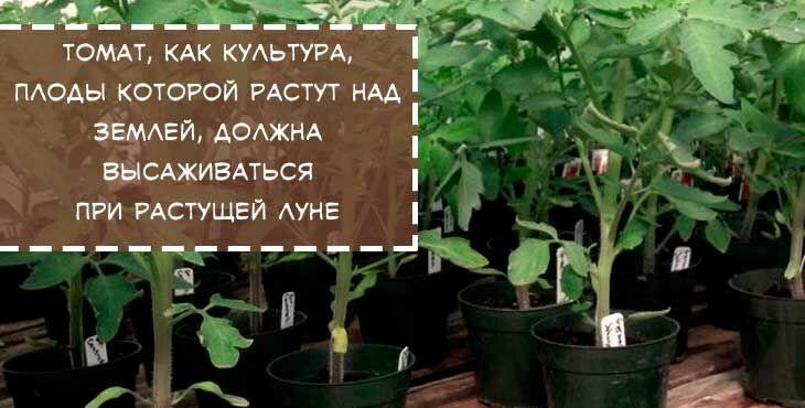 сеем томаты по лунному календарю
