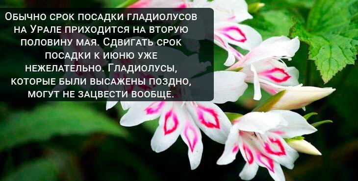 Посадка и уход за гладиолусами на Урале