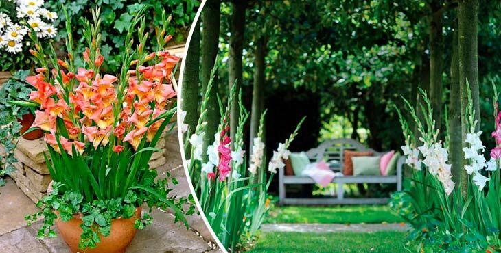 Гладиолусы — посадка и уход в открытом грунте. Как красиво посадить гладиолусы
