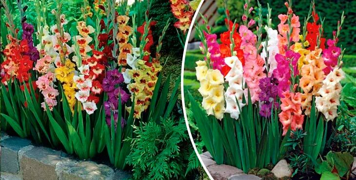 Как красиво посадить гладиолусы на участке