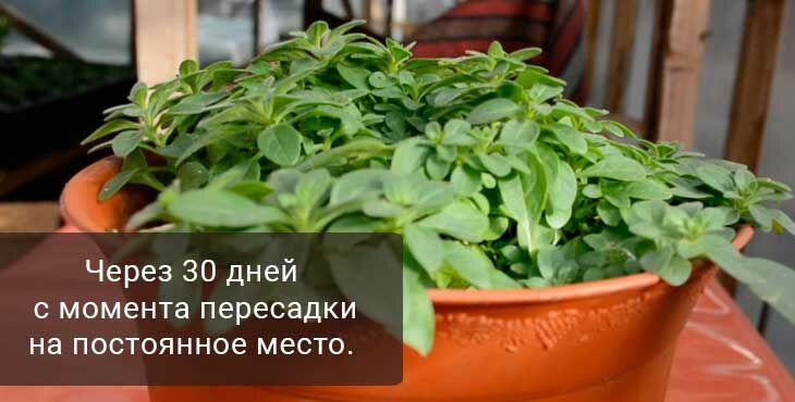 Выращивание и уход за рассадой петунии