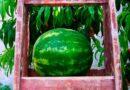 Как и когда сажать арбузы в открытый грунт семенами