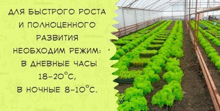 Салат Айсберг выращивание на даче из семян посадка и уход в открытом грунте
