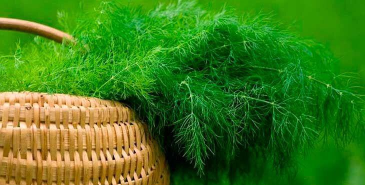 Посадка укропа в открытый грунт семенами летом: выращивание и уход