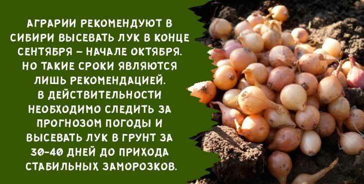 Как подготовить лук севок к посадке осенью