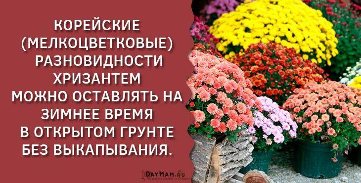 Хризантемы на зиму выкапывают или нет