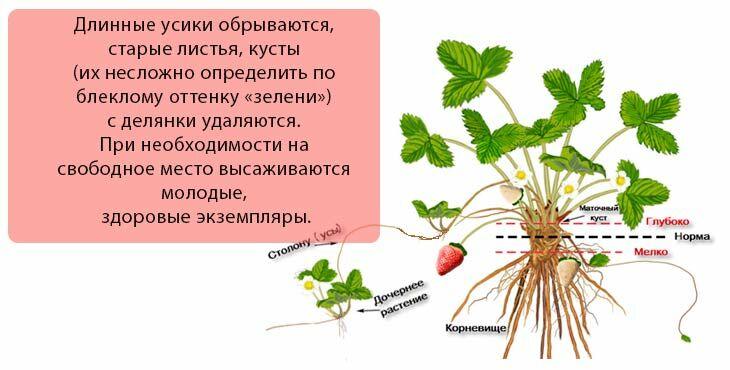 Уход обрезка и подкормка клубники осенью. Подготовка клубники к зиме