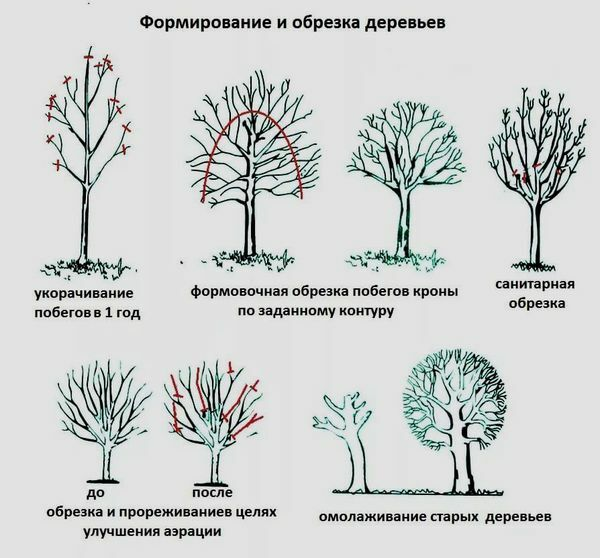 Как формировать молодую яблоню осенью