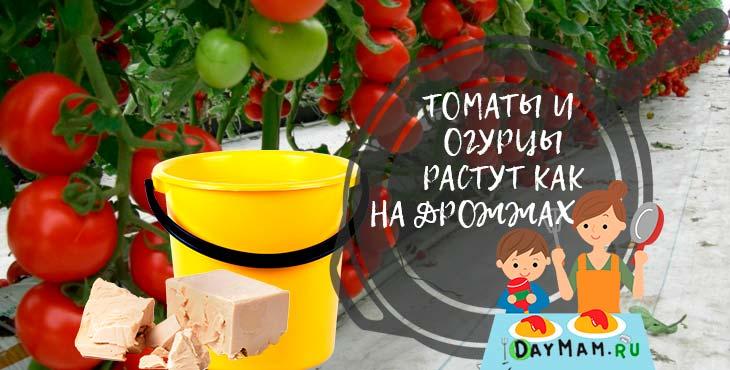 Дрожжевая подкормка огурцов и томатов